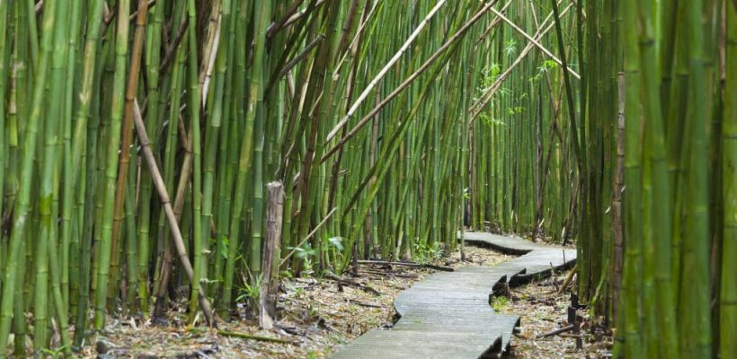 How To Make Bamboo Grow Faster Aussie Bamboo